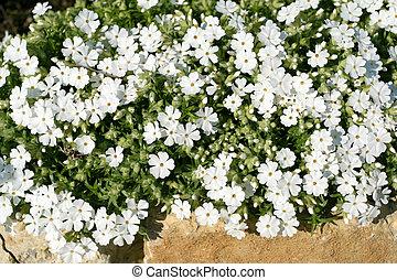 White phlox flowers - Beautiful white flowers background. ...