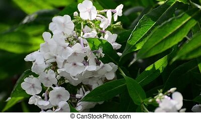 White phlox in drop of water after rain - White phlox in a...