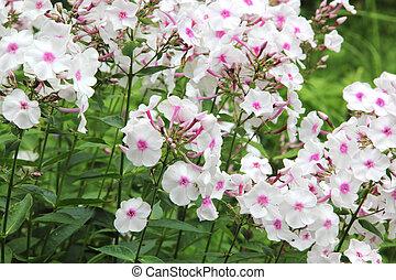 White phlox. Summer flower. - White phlox blooming in the ...