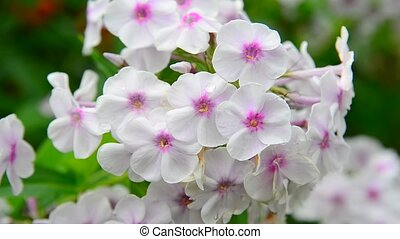 white phloxes close-up in garden - white phloxes close-up in...