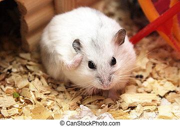 White phodopus hamster