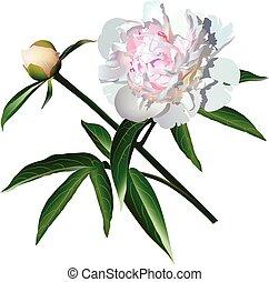 White photorealistic paeonia flower