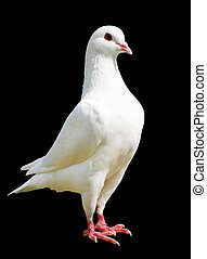 White pigeon isolated on black background - imperial-pigeon...