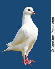 White pigeon isolated on blue background - imperial-pigeon...