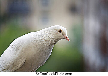 White pigeon on blurred background