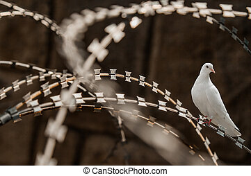white pigeon razor wire fence