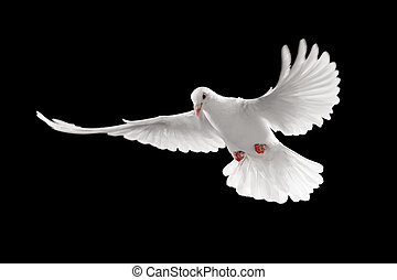 white pigeon - flying white dove isolated on black...