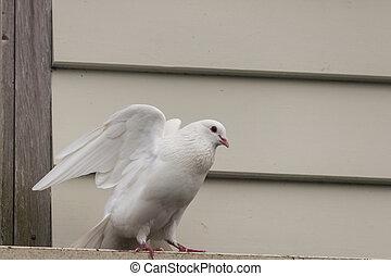 white pigeon taking off