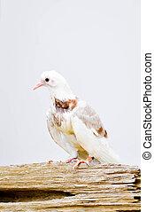 white pigeon, thin pegion, poor pegion