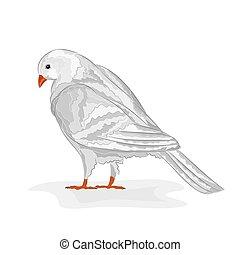 White   pigeon White dove