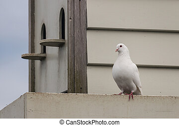 white pigeon with pigeon house