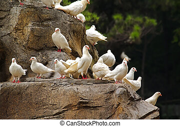 White pigeons sitting on a rock