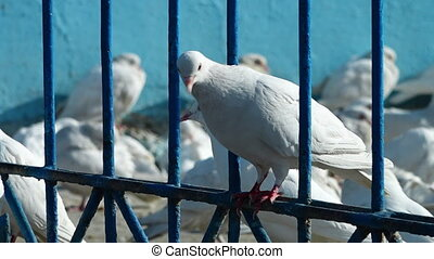 White pigeons standing on a fence - A hand held, close up...