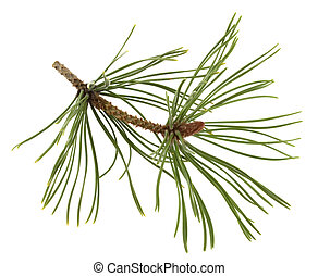 white pine twig with a flower bud in springtime isolated on white