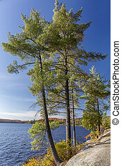 White Pines on a Rocky Lake Shoreline - Ontario, Canada