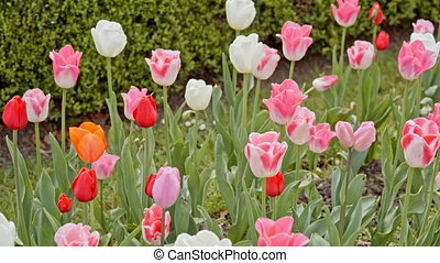 white, pink and red tulips