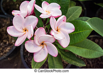 white , pink and yellow Plumeria sp