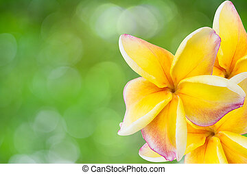 white , pink and yellow Plumeria