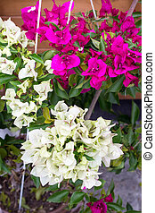white pink bougainvillea two tone color flower blooming in the pot