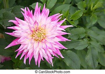 white-pink dahlia