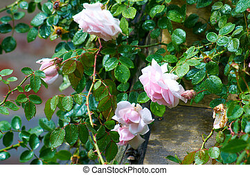 White-Pink Rose bush