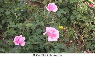 white-pink, rose