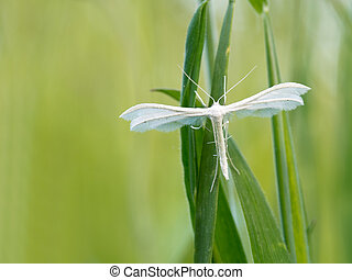 White Plume Moth, Pterophorus pentadactyla. Pretty, fluffy,...