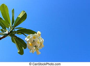 White plumeria flowers against blue sky