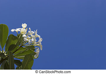White plumeria flowers in sky background.
