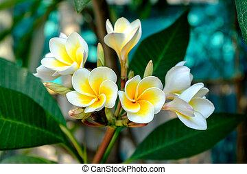 White Plumeria flowers in sunlight
