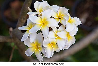 White plumeria flowers on a tree