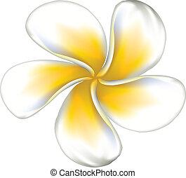 White plumeria (Frangipani) - Plumeria, frangipani tropical...