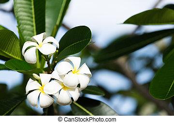 White Plumeria on the plumeria tree,
