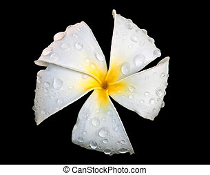 White Plumeria or Frangipani FLower with Raindrops on Black