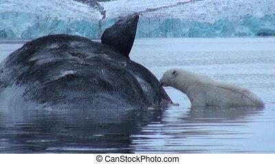 White Polar Bear eats dead whale in water of Svalbard....