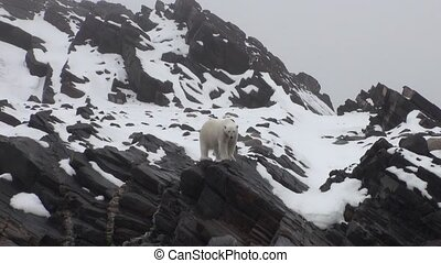 White polar bear go in search of food in Nordic badlands of...