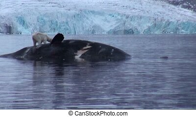 White polar bear near a dead whale in water at the rocky...