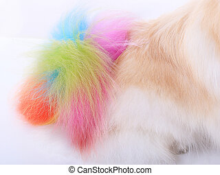 white pomeranian dog grooming colorful tail isolated on...