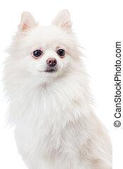 White pomeranian dog isolated on white
