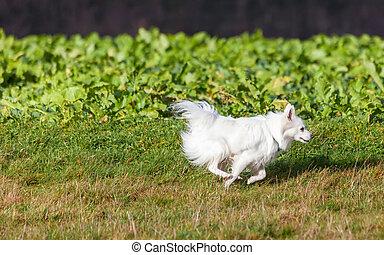 White Pomeranian dog running