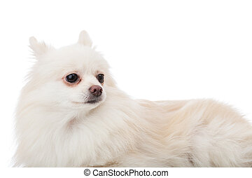 White pomeranian lying down