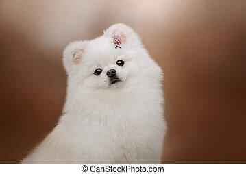 white pomeranian spitz dog portrait with a flower in fur
