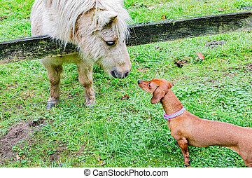 White pony and brown dachshund, encounter between two animals
