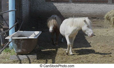 White pony drinks water from a bath on a sunny day.