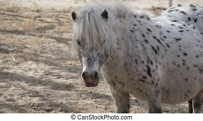 Funny view of a white pony with black spots standing, looking around and stirring its ears while being on sandy soil on a sunny in spring