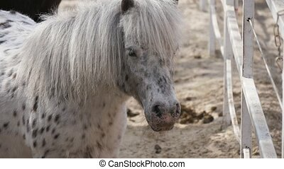 Cheery view of a white pony with black spots standing, turning its head and moving its ears at a fence in spring in slo-mo
