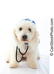 white poodle doctor