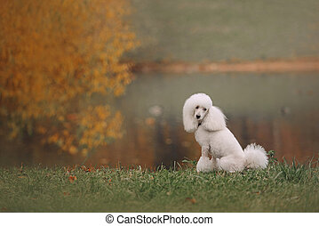white poodle dog posing by the pond in autumn