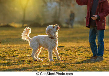 white poodle lawn and little boy - White poodle dog outdoors...