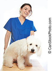 white poodle on check with veterinar
